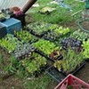 Are We Seeing the Ripening of the Educational Gardening Movement?