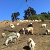 Right Now: Goat Luncheon on Laguna Honda