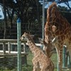 San Francisco Zoo Welcomes Birth of 150 lb. PR Bandage