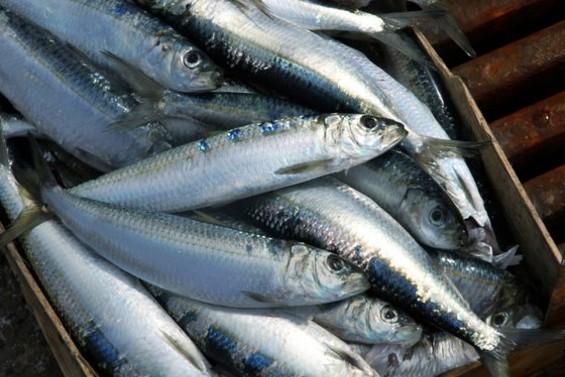 Sardines: Tasty, plentiful, and local.