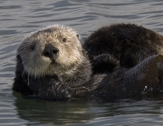 sea_otter_cropped.jpg