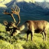 Reindeer on the Way: Snow Will Welcome Them to San Francisco