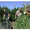 Cops Called to Marijuana Garden Robbery Seize Crop; Growers Could Be Arrested