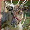 Local Reindeer Look Displeased That Christmas Is Here