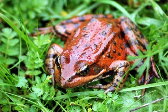 The California red-legged frog is one of our state's 16 threatened amphibian species - KQEDQUEST