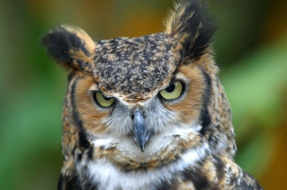 DISAPPROVING OWLS