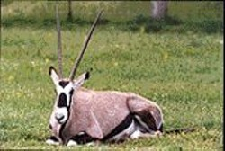 DAN  DION - The oryx, after one too many glasses of - sauvignon blanc.