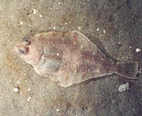 The Pacific sand dab: sustainable?