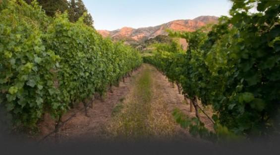 The vineyards at Pine Ridge