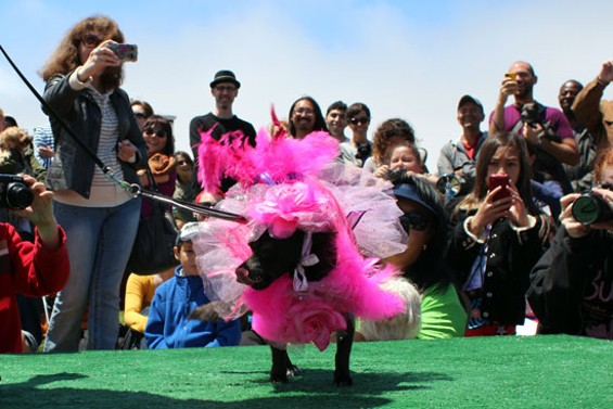 This contestant dressed as Katy Perry for the Whole Enchihuahua, a doggie costume contest. - PHOTOS BY ERIN BROWNER