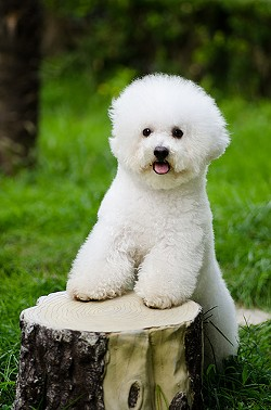 This is just a generic pic of a Bichon Frise - FLICKR/ALFRED M.