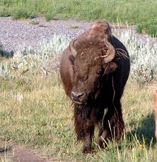 This is not the bison that died