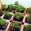 California's Marijuana Farmers Average $100K Annually