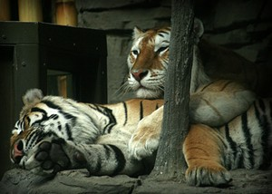Two tigers lowering their blood pressure - JLHOPGOOD VIA FLICKR