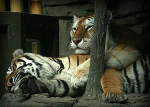 Two tigers lowering their blood pressure - JLHOPGOOD VIA FLICKR