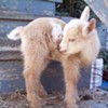 Adventures in Urban Farming: Your Day in Baby Nigerian Dwarf Goat News