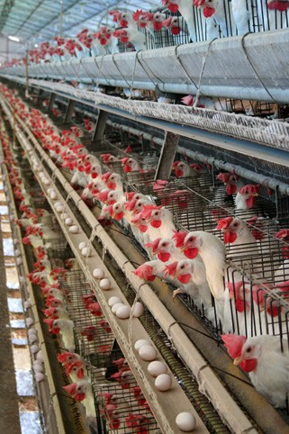 Battery cages were the industry standard in California until Proposition 2 was approved by voters in 2008. - WIKIMEDIA