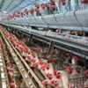 Chickens Come Home to Roost: Prop 2 Hits Egg Prices