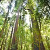 Plan Your Free Black Friday Hike in a Redwood Forest