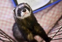 The Secretive Campaign to Legalize Ferret Ownership in California