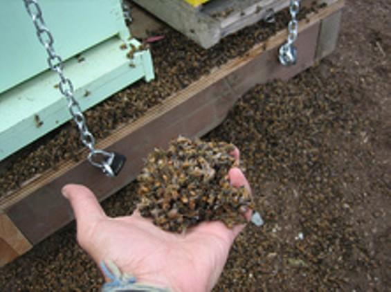 dead_bees_01_thumb_222x166.jpg