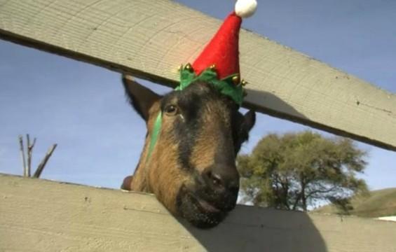 harley_farms_goat_elf.jpg