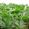 Mexican Study: Marijuana Legalization Would Hurt Cartels -- Badly