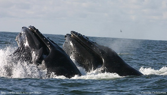 When humpbacks concentrate on feeding, they may not bother concentrating on approaching boats - CORNELIA OEDEKOEVEN/NOAA