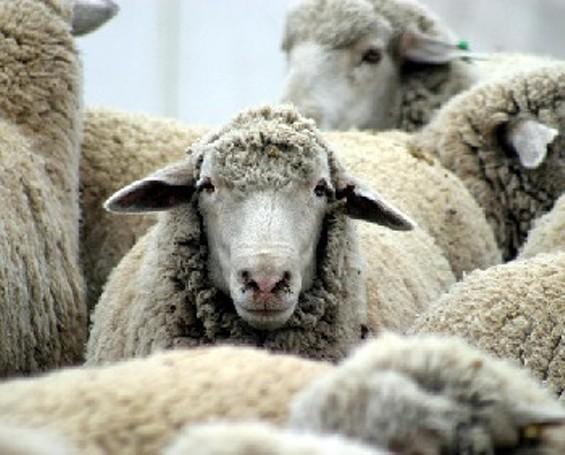 Who're you calling a lamb? - BREW HA HA/FLICKR