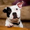 San Francisco Pup Jonny Justice Voted Most Kick-Ass and Adorable Dog