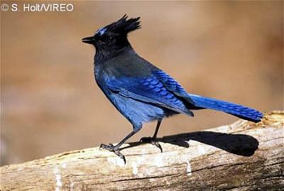 North American Jay Bird