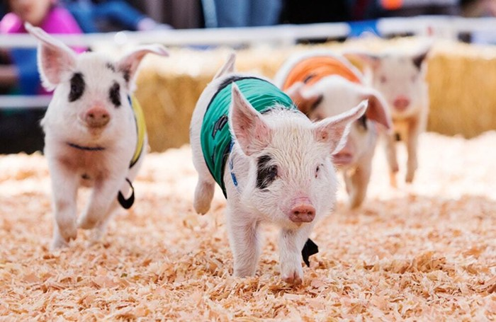 The Washington State Spring Fair has returned, drive-thru style! Cruise to Puyallup to enjoy pig races, a Daffodil Parade, and more without breathing on strangers.