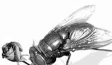 a bug's wife