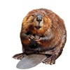 Beaver threatens monetary policy.