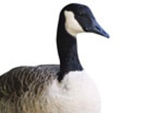 Canterbury Lake's Geese Get Reprieve, for Now