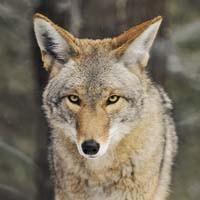 news29_coyote_200.jpg