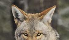 Classier Than Cougars: Monogamous Coyotes