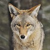 Classier Than Cougars: Monogamous Coyotes