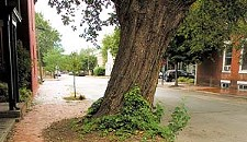 Controversial Elm Gets Olive Branch