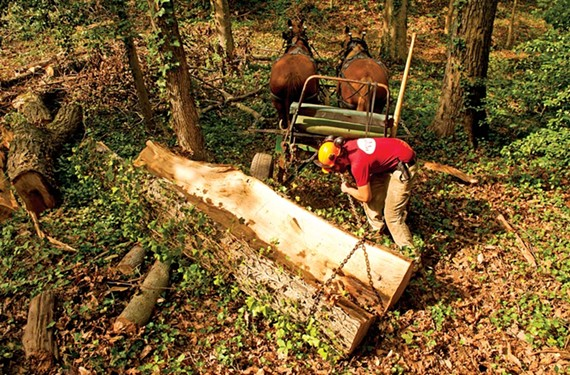 DiMarco attaches chains to a section of the fallen chestnut so the horses can haul it off. A 600-pound log is easy for them; a normal load is 2,000 to 3,000 pounds, DiMarco says. - SCOTT ELMQUIST