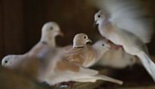 Doves Saved in Va. Beach, Available for Adoption