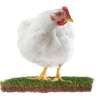 Fowl Territory