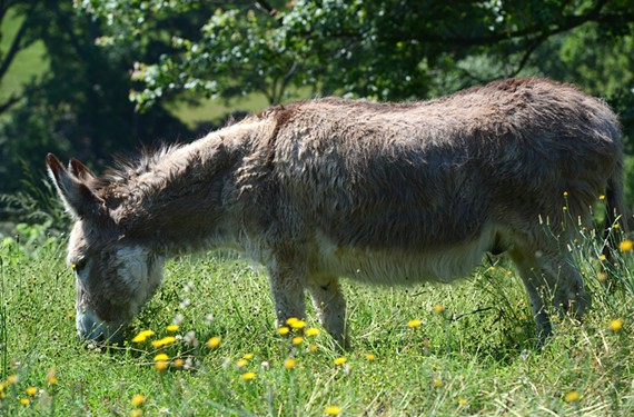 Maymont's staffers have placed Percy, an overweight donkey, on a diet. - SCOTT ELMQUIST