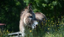 Most Over-Documented Donkey in Style Weekly