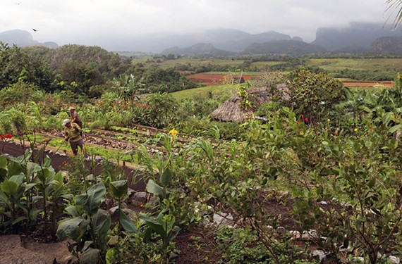 Tobacco that eventually fills tightly rolled Cuban cigars grows on one of many plantations. - UNIVERSITY OF RICHMOND ATHLETICS