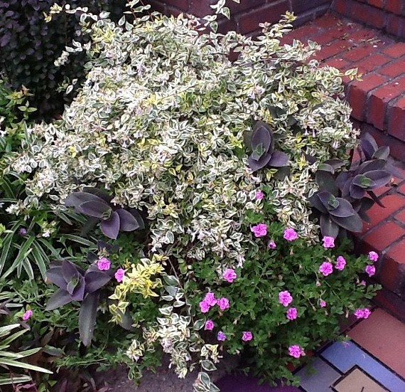 Abelia grandiflora 'Twist of Lime' takes a starring role in this pot. Pink million bells (Calibrachoa) and Purple Queen (Tradescantia pallida 'Purpurea') fill and spill from the arrangement. - JAMESETTA M. WALKER