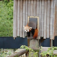 Lustful Red Panda Escapes from Virginia Zoo