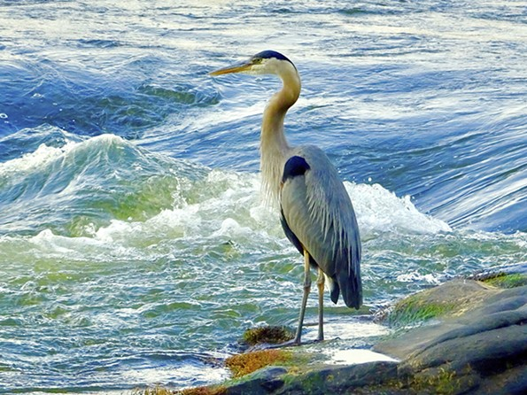 Great blue herons, Ardea herodias, are common sights on the James.