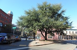 In better days: A discussion surrounded whether the 26-year-old tree should be considered in the design of the plaza. - SCOTT ELMQUIST / FILE