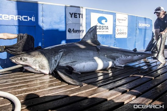 Miss Costa, a great white shark fitted with a satellite tag is one of Ocearch.org's newest members.